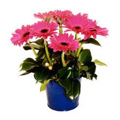 vazo içerisinde gerbera çiçekleri   İstanbul Kadıköy online çiçek gönderme sipariş