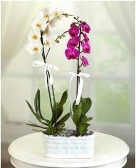 1 dal beyaz 1 dal mor yerli orkide saksıda  İstanbul Kadıköy çiçek servisi , çiçekçi adresleri