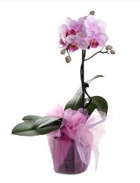 1 dal pembe orkide saksı çiçeği  İstanbul Kadıköy kaliteli taze ve ucuz çiçekler
