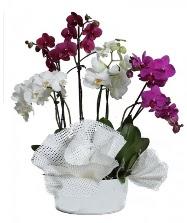 4 dal mor orkide 2 dal beyaz orkide  İstanbul Kadıköy anneler günü çiçek yolla