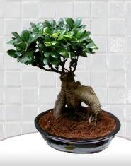 saksı çiçeği japon ağacı bonsai  İstanbul Kadıköy kaliteli taze ve ucuz çiçekler