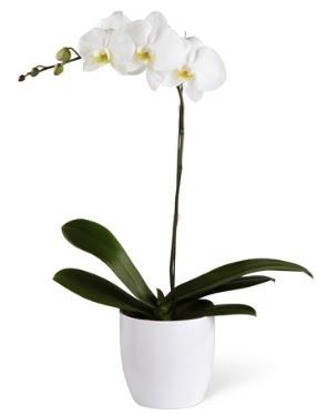1 dallı beyaz orkide  İstanbul Kadıköy 14 şubat sevgililer günü çiçek