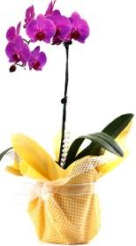 İstanbul Kadıköy çiçek siparişi sitesi  Tek dal mor orkide saksı çiçeği