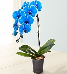 1 dallı süper eşsiz mavi orkide  İstanbul Kadıköy çiçek mağazası , çiçekçi adresleri