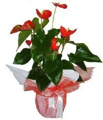 Antoryum saksı iç mekan süs bitkisi  İstanbul Kadıköy çiçek servisi , çiçekçi adresleri