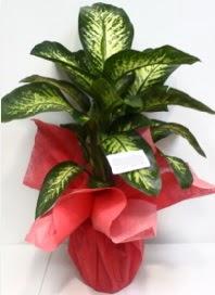 Büyük boy Difenbahya Saksı bitkisi 90 cm 1.10 cm  İstanbul Kadıköy internetten çiçek siparişi
