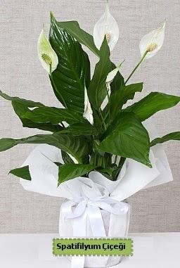 Spatifilyum Orta boy Saksı çiçeği  İstanbul Kadıköy anneler günü çiçek yolla