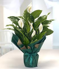 Spatifilyum Barış çiçeği Büyük boy  İstanbul Kadıköy çiçek servisi , çiçekçi adresleri