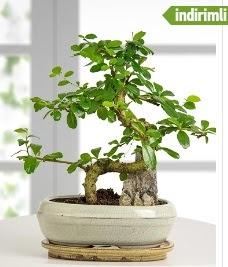 S şeklinde ithal gerçek bonsai japon ağacı  İstanbul Kadıköy internetten çiçek satışı