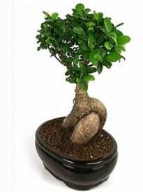Bonsai saksı bitkisi japon ağacı  İstanbul Kadıköy çiçek siparişi sitesi