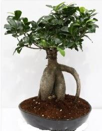 5 yaşında japon ağacı bonsai bitkisi  İstanbul Kadıköy internetten çiçek satışı