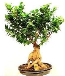 Bonsai Japon ağacı saksı bitkisi  İstanbul Kadıköy çiçek siparişi sitesi
