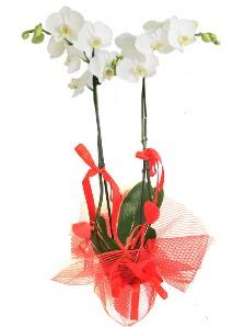2 dallı beyaz orkide bitkisi  İstanbul Kadıköy uluslararası çiçek gönderme