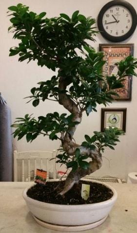 100 cm yüksekliğinde dev bonsai japon ağacı  İstanbul Kadıköy İnternetten çiçek siparişi