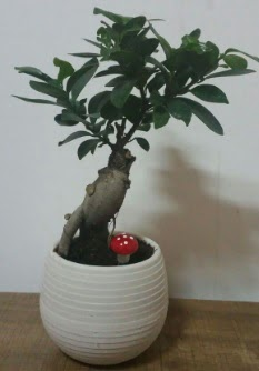 Bonsai japon ağacı saksı çiçeği  İstanbul Kadıköy çiçek gönderme sitemiz güvenlidir