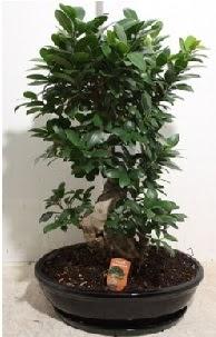 75 CM Ginseng bonsai Japon ağacı  İstanbul Kadıköy hediye çiçek yolla