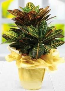 Orta boy kraton saksı bitkisi  İstanbul Kadıköy online çiçek gönderme sipariş