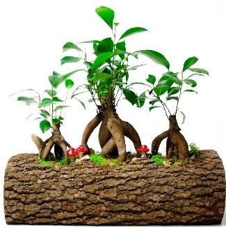 Doğal kütük içinde 3 Bonsai Japon ağacı  İstanbul Kadıköy internetten çiçek satışı