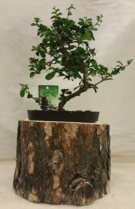 Doğal kütük içinde bonsai japon ağacı  İstanbul Kadıköy İnternetten çiçek siparişi