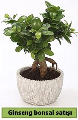 Ginseng bonsai japon ağacı satışı  İstanbul Kadıköy çiçekçi telefonları