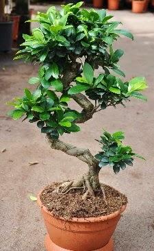Orta boy bonsai saksı bitkisi  İstanbul Kadıköy internetten çiçek siparişi
