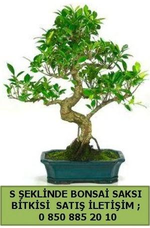 İthal S şeklinde dal eğriliği bonsai satışı  İstanbul Kadıköy çiçek gönderme