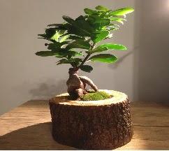 Doğal kütükte Bonsai japon ağacı satışı  İstanbul Kadıköy internetten çiçek satışı
