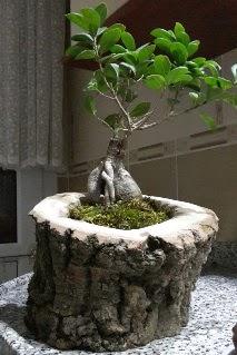 Ahşap kütük içerisinde ginseng bonsai  İstanbul Kadıköy internetten çiçek siparişi