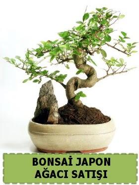 Bonsai japon  ağacı satışı Minyatür İthal  İstanbul Kadıköy internetten çiçek siparişi