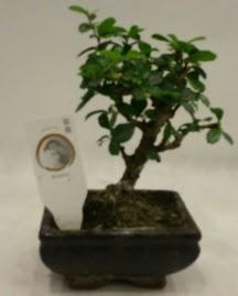 Küçük minyatür bonsai japon ağacı  İstanbul Kadıköy çiçek gönderme