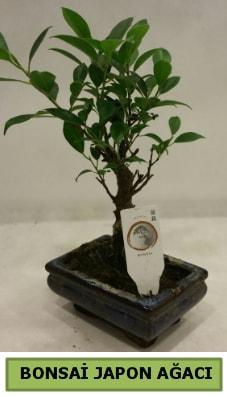 Bonsai japon ağacı saksı bitkisi  İstanbul Kadıköy çiçek servisi , çiçekçi adresleri
