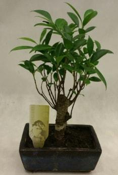 Japon ağacı bonsai bitkisi satışı  İstanbul Kadıköy çiçekçi telefonları