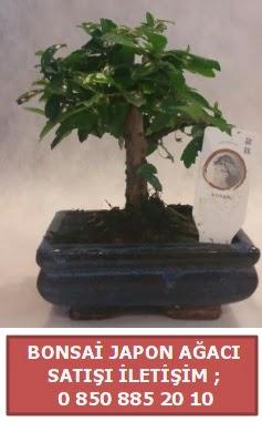 Japon ağacı minyaür bonsai satışı  İstanbul Kadıköy çiçek satışı