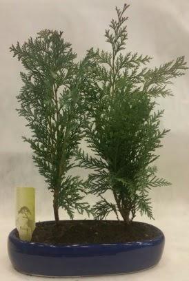 SINIRLI SAYIDA Selvi Ağacı bonsai ikili  İstanbul Kadıköy çiçekçi telefonları