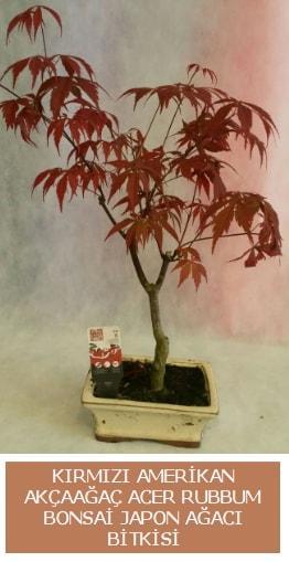 Amerikan akçaağaç Acer Rubrum bonsai  İstanbul Kadıköy uluslararası çiçek gönderme