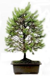 *** STOKTA YOK - Çam ağacı bonsai bitkisi satışı  İstanbul Kadıköy cicekciler , cicek siparisi