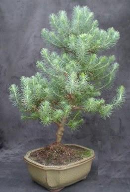 Bonsai çam ağacı japon ağacı bitkisi  İstanbul Kadıköy çiçek gönderme sitemiz güvenlidir