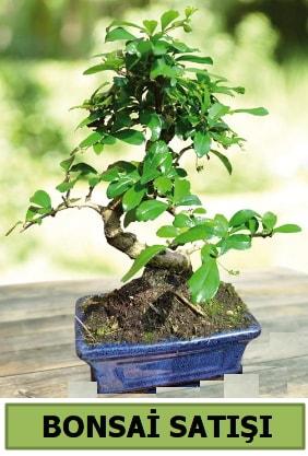 Çam bonsai japon ağacı satışı  İstanbul Kadıköy çiçek satışı