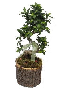 Doğal kütükte bonsai saksı bitkisi  İstanbul Kadıköy İnternetten çiçek siparişi
