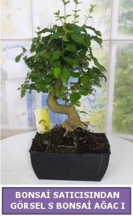 S dal eğriliği bonsai japon ağacı  İstanbul Kadıköy çiçek satışı