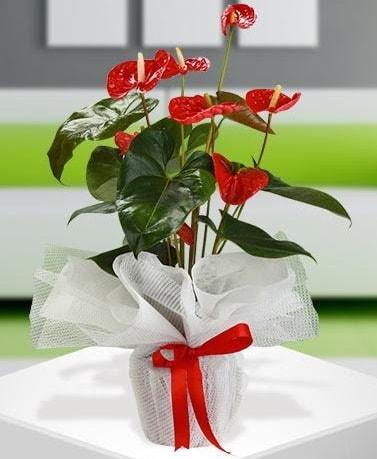 Antorium saksı bitkisi ithal kalite  İstanbul Kadıköy hediye çiçek yolla