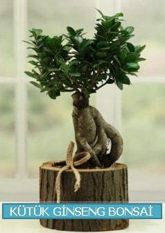 Kütük ağaç içerisinde ginseng bonsai  İstanbul Kadıköy çiçek gönderme sitemiz güvenlidir