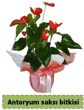 Antoryum saksı bitkisi satışı  İstanbul Kadıköy çiçek , çiçekçi , çiçekçilik