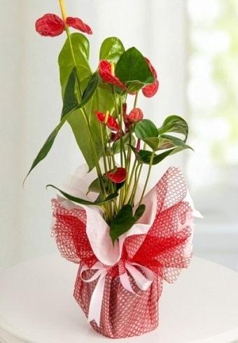 Anthurium Saksı Çiçeği  İstanbul Kadıköy hediye çiçek yolla