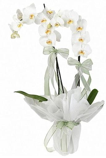 Çift Dallı Beyaz Orkide  İstanbul Kadıköy anneler günü çiçek yolla