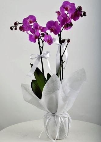 Çift dallı saksıda mor orkide çiçeği  İstanbul Kadıköy çiçek siparişi vermek