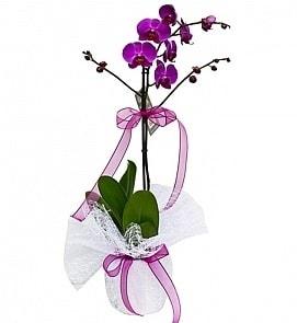 Tek dallı saksıda ithal mor orkide çiçeği  İstanbul Kadıköy çiçekçiler