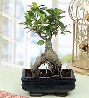 Appealing Ficus Ginseng Bonsai  İstanbul Kadıköy anneler günü çiçek yolla
