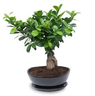 Ginseng bonsai ağacı özel ithal ürün  İstanbul Kadıköy internetten çiçek satışı