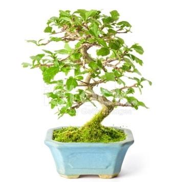 S zerkova bonsai kısa süreliğine  İstanbul Kadıköy İnternetten çiçek siparişi